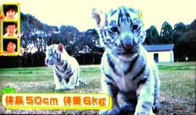 平川動物公園 ホワイトタイガーの赤ちゃん ペットの王国ワンだランド