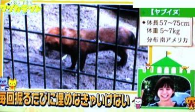 ヤブイヌ 平川動物公園 犬の先祖