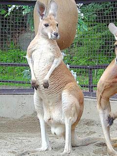 アカカンガルー クララ ハッチのお嫁さん 須坂市動物園