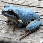 青色のカエル 突然変異? 埼玉県で見つかる