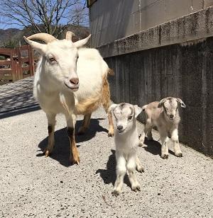 秋吉台サファリランド 双子のヤギの赤ちゃんが誕生!