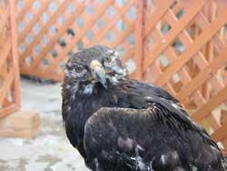 ニホンイヌワシ「鳥海」が亡くなりました 献花台について 秋田市大森山動物園