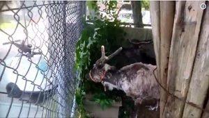 秋田市大森山動物園 トナカイの夏の暑さでバテバテ?