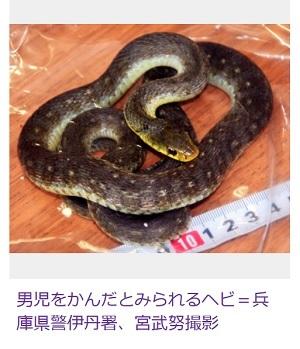 ヤマカガシ 画像 地域で色や模様が違う 男児が毒ヘビに噛まれる 兵庫県