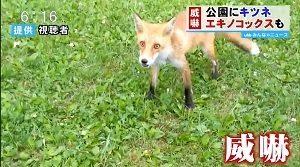 威嚇するキツネ エキノコックスの感染の危険 北海道・札幌市 公園の場所