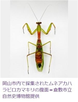 岡山で謎のカマキリ発見 ムネアカハラビロカマキリ 倉敷の自然史博物館で展示