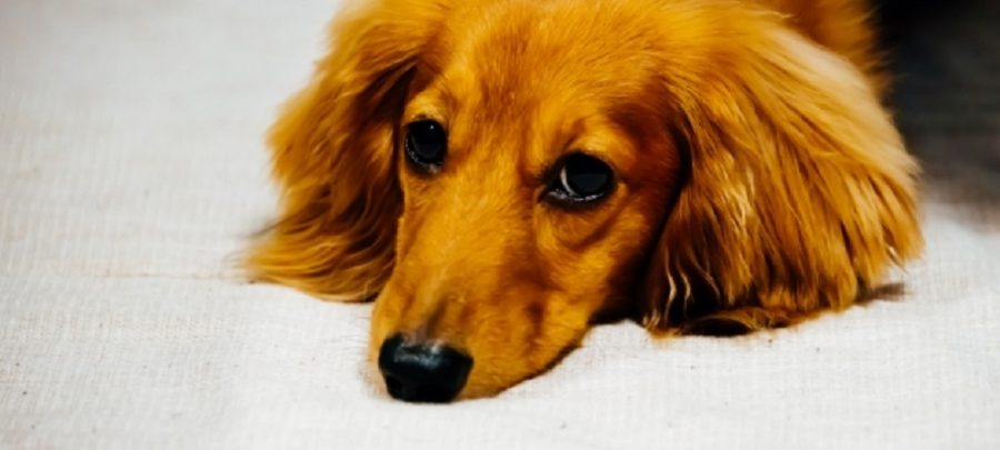 犬になめられ感染症 手足が壊死 カプノサイトファーガ・カニモルサス 予防・対処方法 混合ワクチン接種